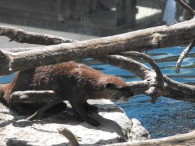 Otter About to Take a Dip