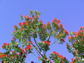 Pohutukawa and Blue