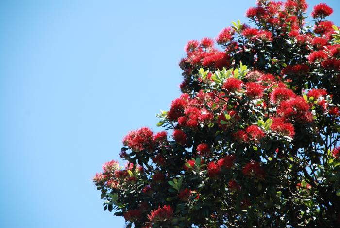 pohutukawa flowers 700   New Zealand   The Most Camping Friendly Country in the World?