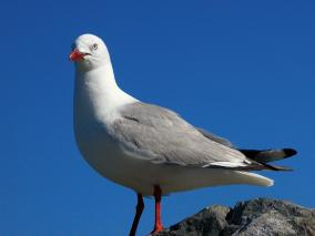 Close up of a Gull Posing on a Rock