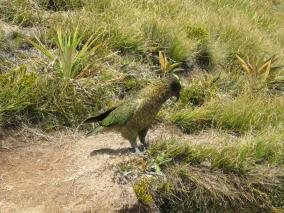 Side View of Kea