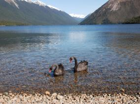 Two Black Swans Feeding