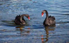 Two Black Swans at Lake Rotoiti