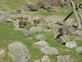 Wellington Zoo Baboons
