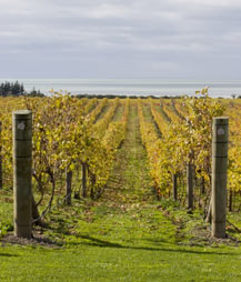 Hawkes Bay grape vines